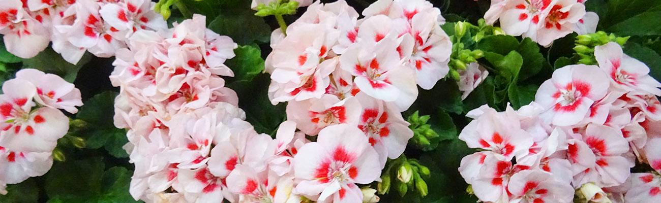 Beet Und Balkonpflanzen Gartencenter Brenke Ihre Gartnerei In